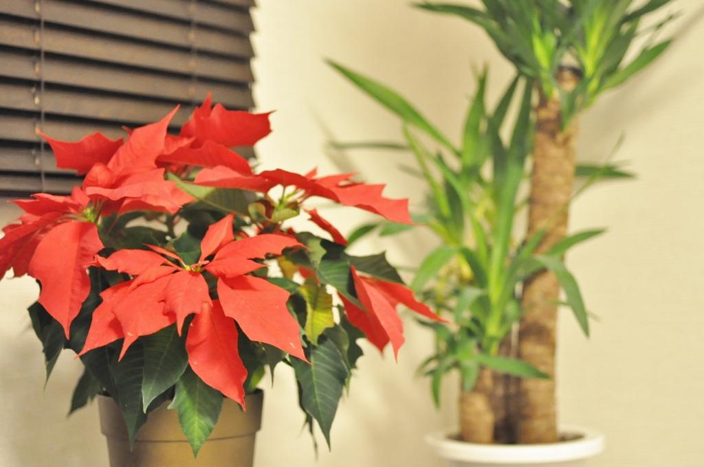 ポインセチア,自宅ネイルサロン,クリスマス