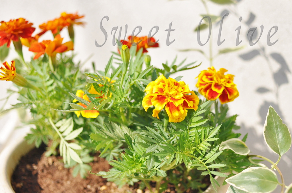 マリーゴールド,夏の花,玄関,自宅ネイルサロン