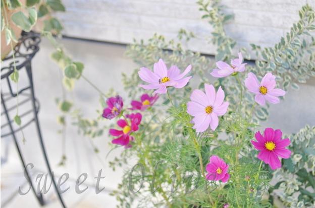 コスモス,自宅ネイルサロン,玄関,花,鉢植え