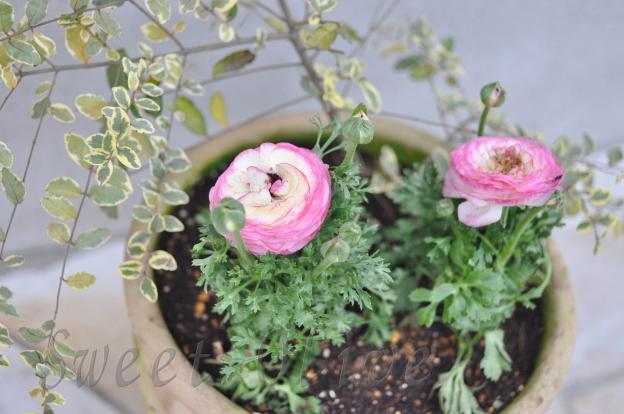ラナンキュラス,寄せ植え,小春日和,お花,自宅ネイルサロン