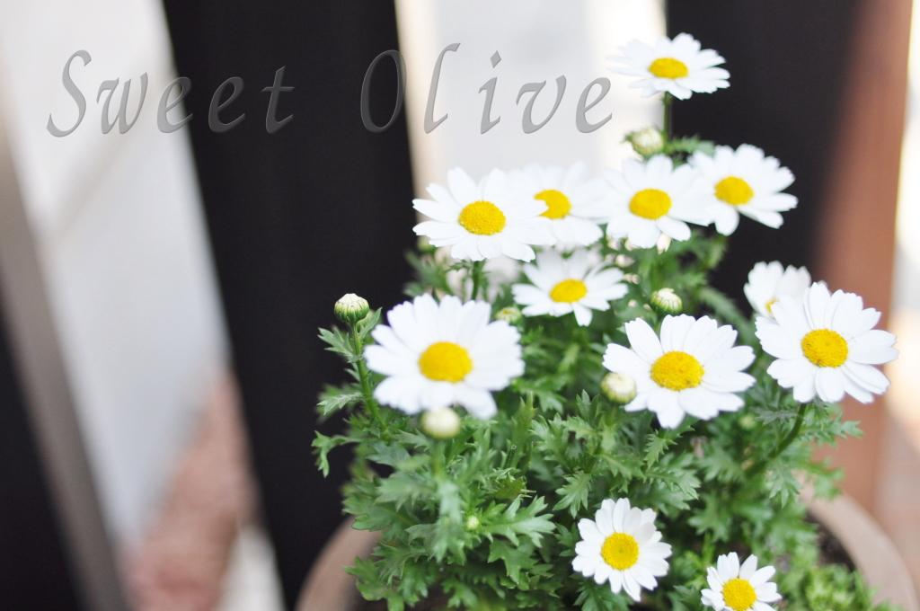 ノースポール,菊,春,鉢植え,寄せ植え,自宅ネイルサロン