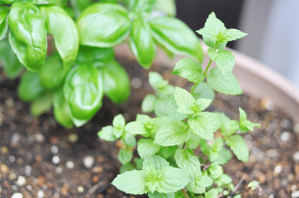 スペアミント,鉢植え,自宅ネイルサロン