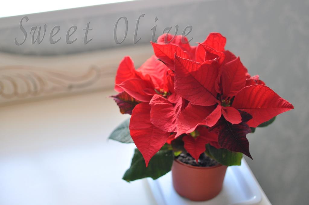 ポインセチア,ミニサイズ,クリスマス,自宅ネイルサロン