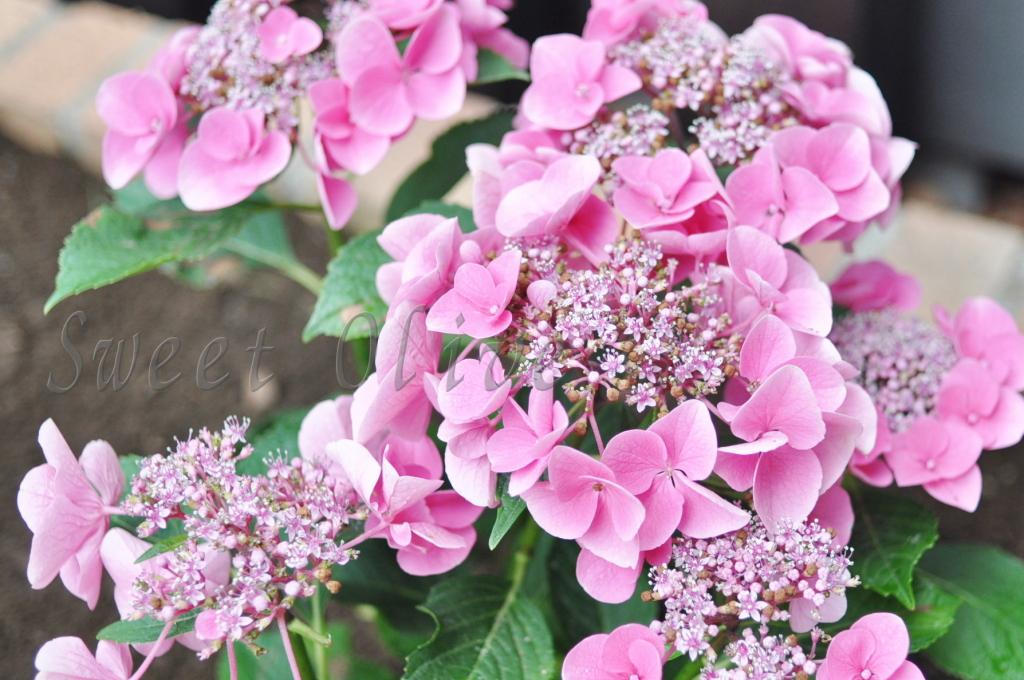 庭,花壇,地植え,あじさい,アジサイ,紫陽花,ピンク,自宅ネイルサロン